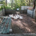 Duck pens - foxes won't come near the pigs so the ducks are safe