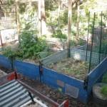 Raised veggie beds
