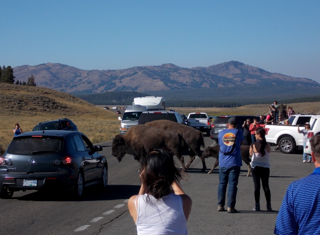 Bison meet tourists