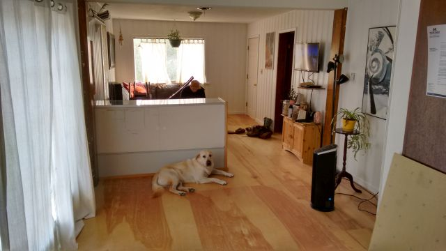 Oscar the big white dog enjoying the new floor