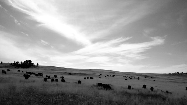Gathering cattle in Big Sky country.