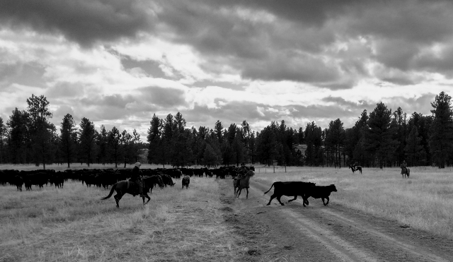 Cutting out a pair of the neighbour's cattle.