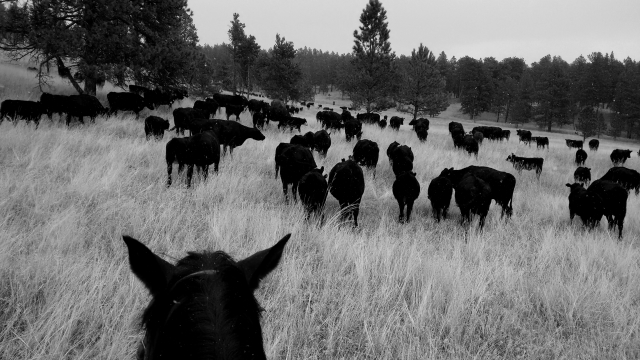 A little snow started to fall as we began to gather the cattle.